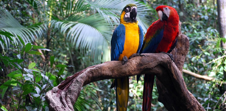 amazon couple parrots