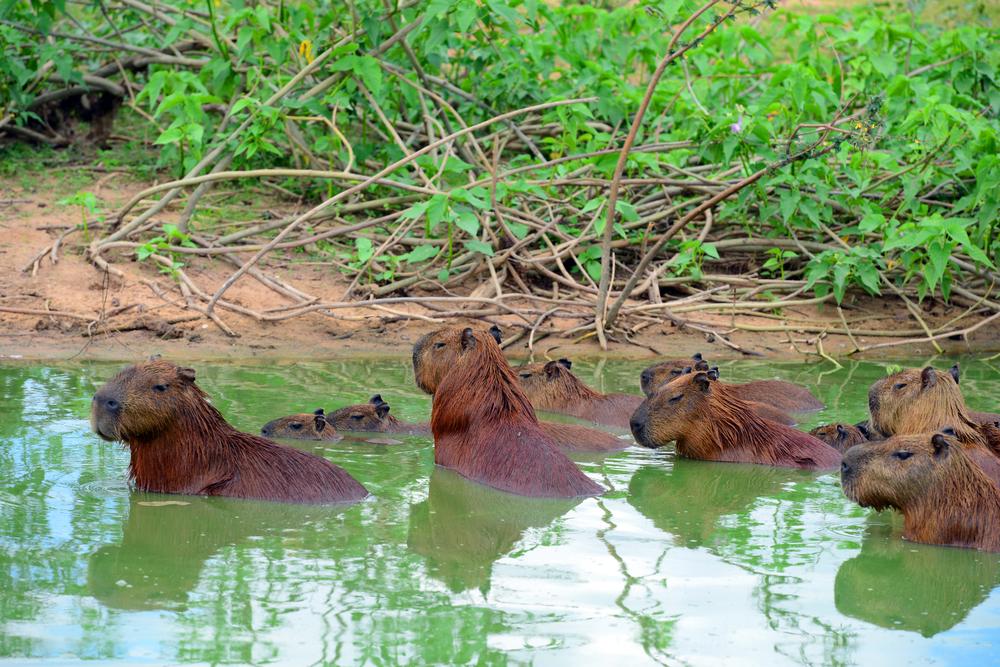 Pantanal famille de capivares