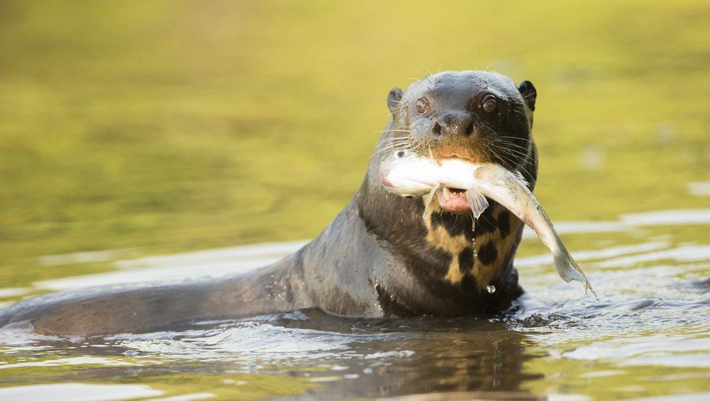 Pantanal loutre mangeant poisson