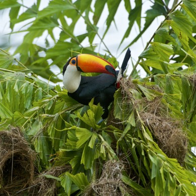 Toucan sur un arbre Amazonie